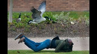 FUNNIEST Geese Attack Compilation - MUST SEE Angry goose video [NEW HD]