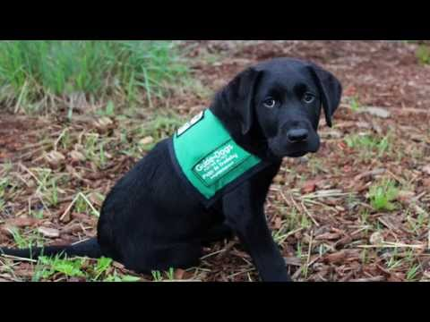 Dan: Guide Dog Puppy in Training