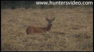 Jagdvideo Brunftende Rehböcke in Ungarn