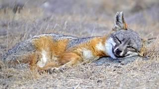 16 Amazing Fox Species