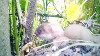 Baby Stoat rescued by it's Mother