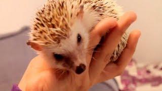How To Tame a Hedgehog