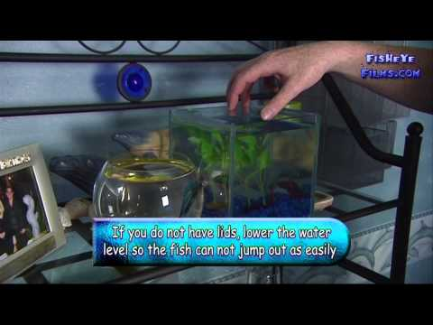 video Siamese Fighter (Betta) Ornamental Fish for Aquarium