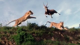 Lion pounced on Antelope in Mid - Air Attack..