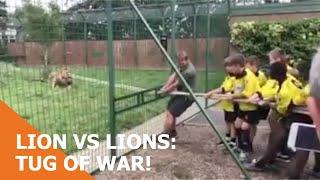 LION VS LIONS - TUG OF WAR