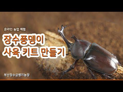 [온라인 체험농장] 장수풍뎅이 사육 키트 만들기 (feat. 부산 장수굼벵이농장)