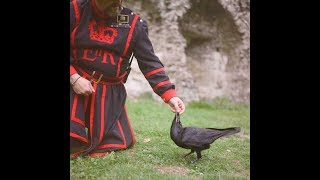 The secrets of the Tower of London's royal ravenmaster