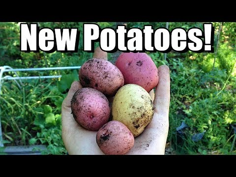 An Early Harvest of NEW POTATOES for Homemade Vegetable Soup