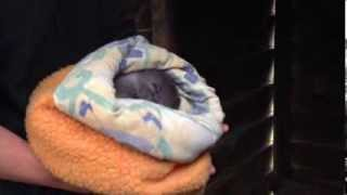 Sleepy Baby Wombat