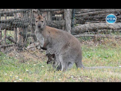 BTA: Новородени кенгурчета предизвикват любопитството на посетителите в Добричкия зоопарк