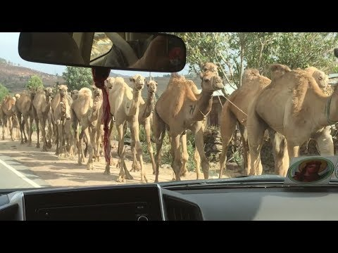 Ethiopian Camel Boys Take Their Herd to Market