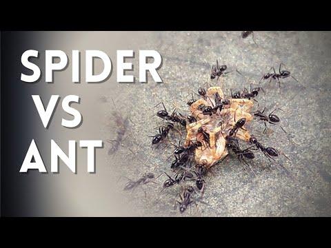Ant vs Spider | मकड़ी और चींटी की लड़ाई | Ant vs Spider fight | 🐜 Ant eat spider | Power Study
