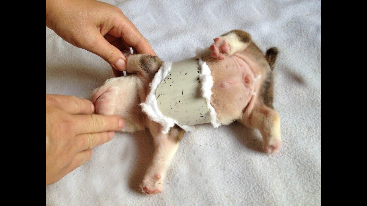 English Bulldog Swimmer Puppy Syndrome Pectus Excavatum