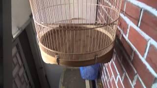 Mua bán lồng chim Chích Chòe Lửa 45cm, 50cm, 55cm, 60cm  - Web banchim.vn - Chuyên mua bán chim cảnh