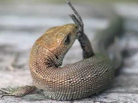 Ящерица (Lizard)