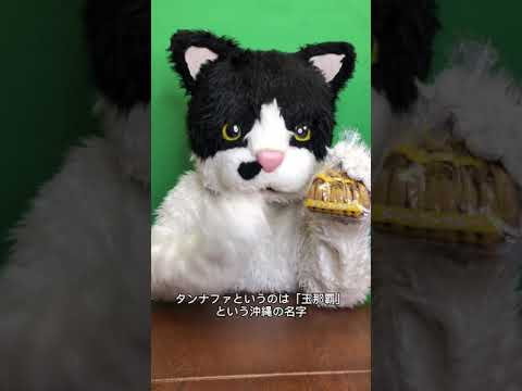むぎ(猫)「沖縄こんちくわシリーズvol.1タンナファクルー」
