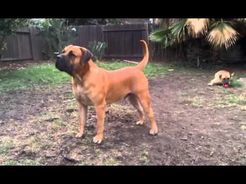 Boerboel Guard Dog Youtube