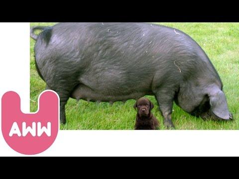 Pig Adopts Puppies