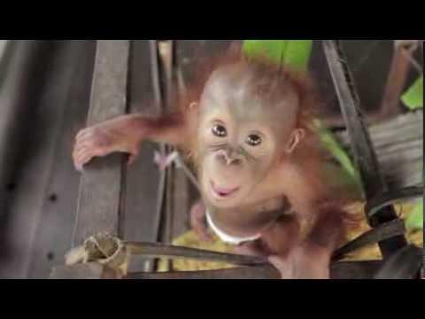 Rickina le bébé orang-outan