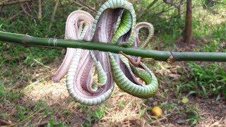 Ăn luôn rắn Lục Đuôi Đỏ, món độc bạn nào dám ăn??? | Săn bắt SÓC TRĂNG |