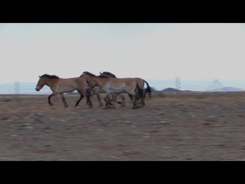 احصنة بريفالسكي الى الحرية في سهوب منغوليا ارض اجدادها