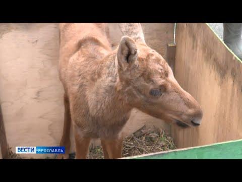 Продолжение истории про лосенка из Большесельского района: сегодня Бэмби привезли в новый дом