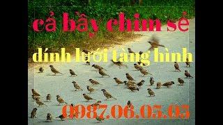 Lưới tàng hình bẫy chim sẻ,chào mào,chòe,hoành hoạch.. 0987060505-0982763678