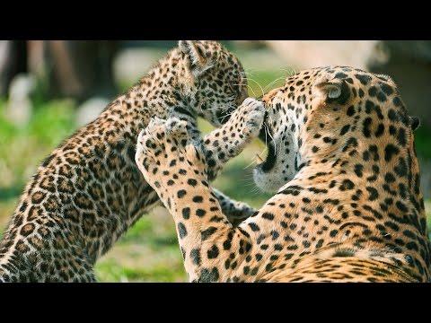 Jaguar Sounds Best Animal Roar