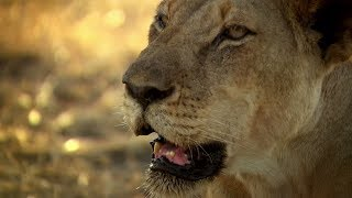 Lions vs Giraffes 🦁- Nature Shock | African Nature Documentary | Natural History Channel