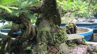Bonsai cây nhà lá vườn
