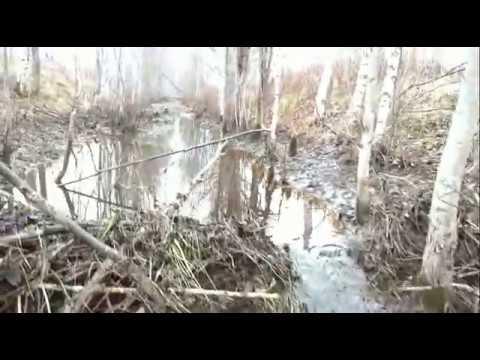 Сезон охоты на бобра