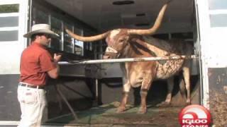Texas Longhorns Mascot-Bevo