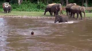 Elephant sees a guy drowning, rushes to save him