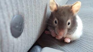 Getting My Hamster!
