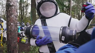 Entomologists vacuum Asian giant hornets out of nest found in Whatcom County