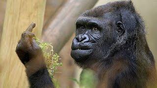 Gorilla Shows Middle Finger
