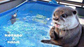 待ちに待った新しいプールに狂喜乱舞するカワウソ Otter So Excited About The New Pool