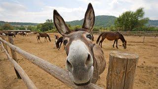 Funny Donkey Videos - Funny Animals Videos