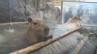 Capybaras enjoy a hot spring bath at a Tokyo zoo