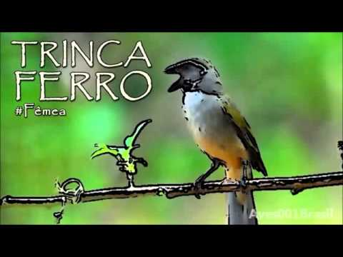 Baixar CANTO TRINCA FERRO FÊMEA Saltator similis # Green winged Saltator #2