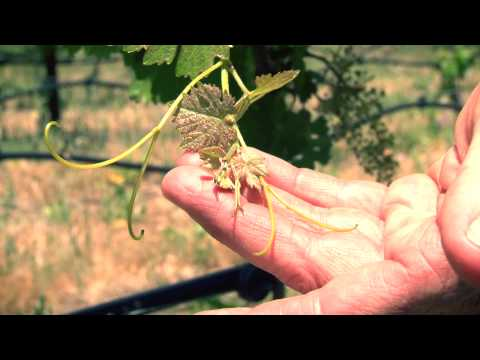 One Acre Napa Valley - Yountville AVA Episode 12 - Spring 2013 Fruit set