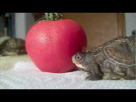 Two Turtles Eat A Tomato Youtube