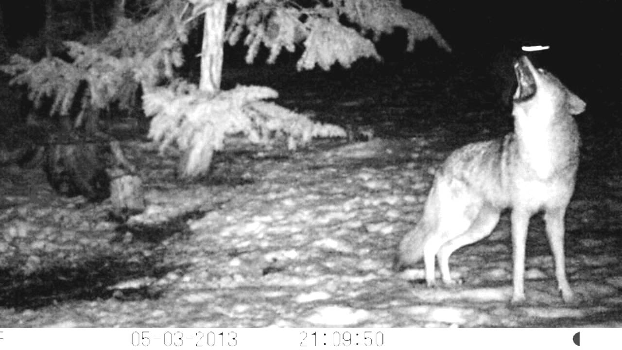 Coyote Pack Howl - YouTube  Coyote Pack How...