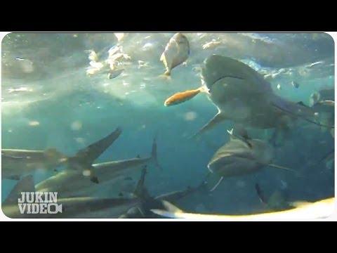 Sharks follow trawler