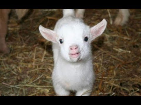 Baby Goats - Funny And Cute Baby Goats Compilation [BEST OF]