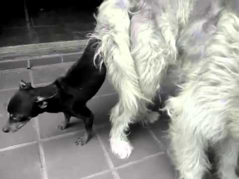 Big Dog Mating With Small Dog 4#