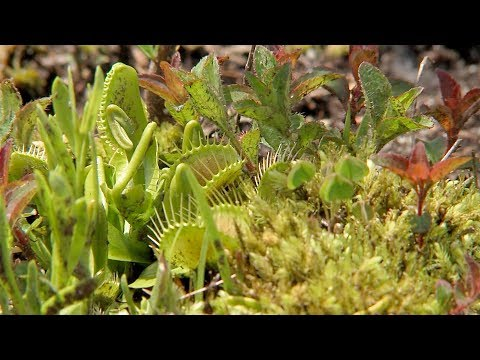 screenshot of youtube video titled Venus Flytrap | Expeditions Shorts (small thumbnail)