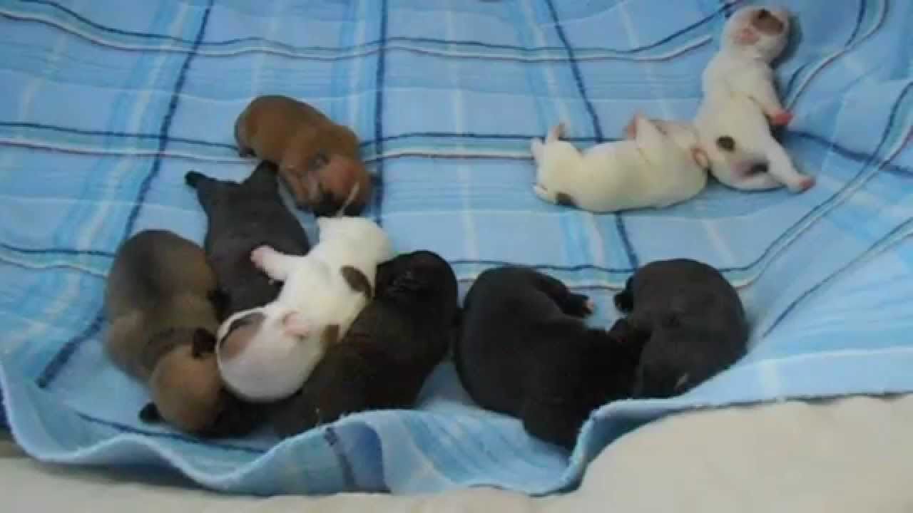 Newborn French Bulldog Puppies! One week old. - YouTube