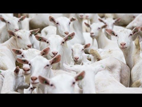 Milking 1,300 Goats p/hr! Dairymaster Goat Rotary - Eurotier Gold Medal Winner