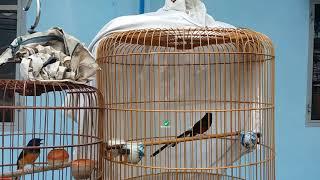 Hướng dẫn tháp đuôi cho chim chích chòe lửa